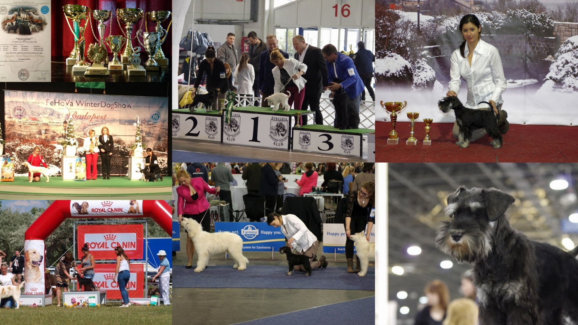 b'yanka_kornutinna_fekete_ezüst_törpe_schnauzer_diploma_kiállítások_dog_show_black_and_silver_schnauzer_