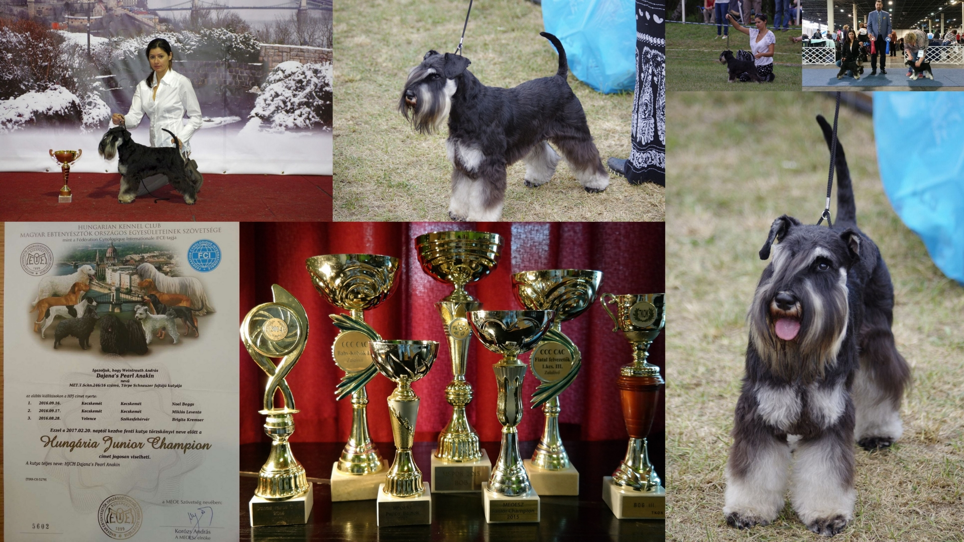 dajana's_pearl_anakin_fekete_ezüst_törpe_schnauzer_diploma_kiállítások_dog_show_black_and_silver_schnauzer_