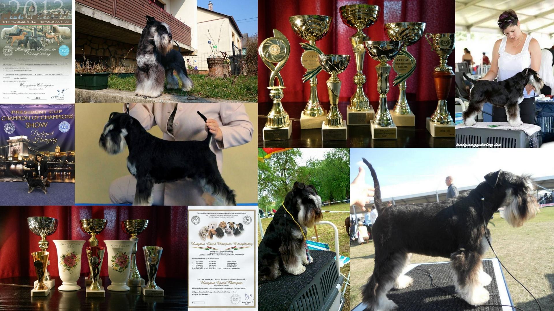 hosszúbereki_császár_innocent_frodó_fekete_ezüst_törpe_schnauzer_diploma_kiállítások_dog_show_black_and_silver_schnauzer_