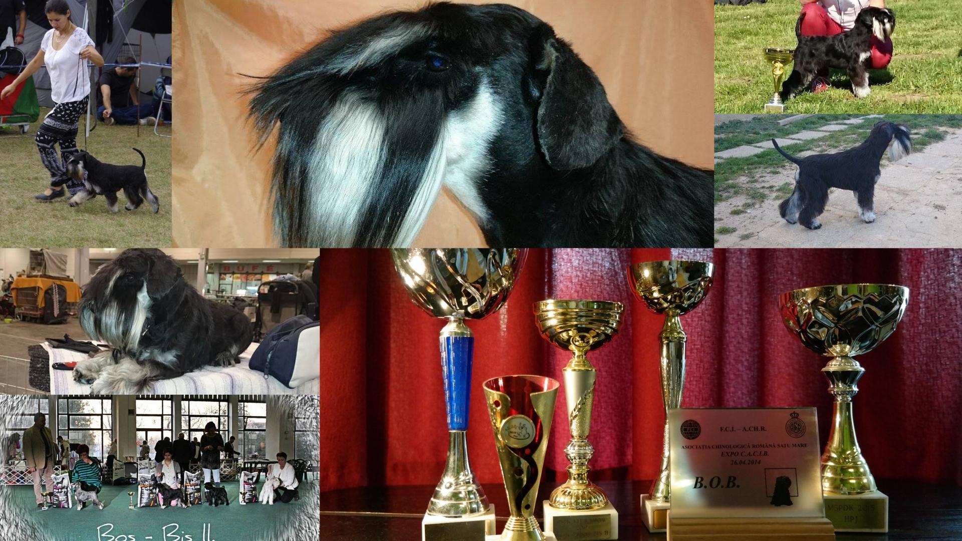 mátraszépe_whimsy_fekete_ezüst_törpe_schnauzer_diploma_kiállítások_dog_show_black_and_silver_schnauzer_